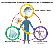 Acta Biomater.:基于贻贝黏附蛋白的纳米纤维导管加速功能神经再生