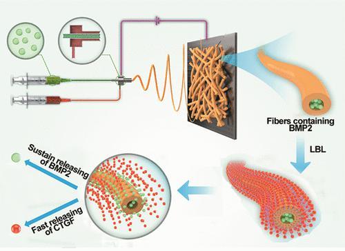 ACS Nano:层层自组装核-壳纳米纤维来控制生长因子的协同传递以促进骨再生